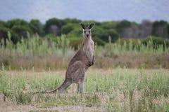 Kangourou de gris de Pâques Photos libres de droits