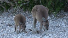 Kangourou de mère et de bébé marchant et sautant en parc du cap le Grand National banque de vidéos