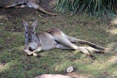 Kangourou de repos Photographie stock libre de droits