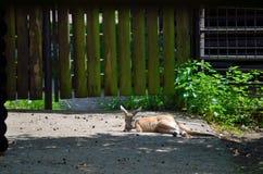Kangourou de sommeil Photographie stock libre de droits