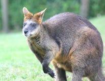 Kangourou de wallaby Image libre de droits