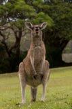 Kangourou drôle Photos libres de droits
