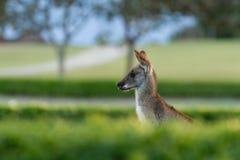Kangourou en Australie Photos libres de droits