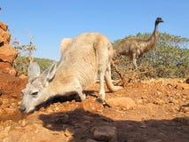 Kangourou et émeu, Australie Photo libre de droits