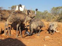 Kangourou et émeus, Australie Images stock