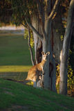 Kangourou et joey Photo libre de droits