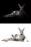Kangourou et joey femelles photographie stock libre de droits