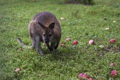 Kangourou et pommes dans le zoo Images stock