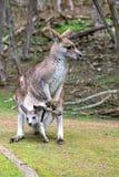 Kangourou femelle avec un joey Photographie stock