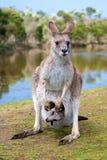 Kangourou femelle avec un joey dans elle Photographie stock