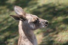 Kangourou gris Image libre de droits