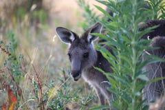 Kangourou gris mignon Images libres de droits