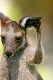 Kangourou gris occidental Images libres de droits