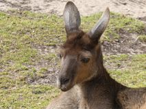 Kangourou gris occidental appréciant le soleil photographie stock libre de droits