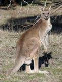 Kangourou gris oriental Image libre de droits
