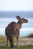 Kangourou gris oriental (giganteus de Macropus) Photographie stock