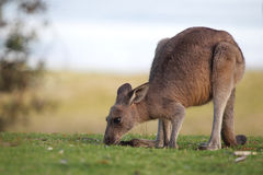 Kangourou gris oriental (giganteus de Macropus) Image libre de droits