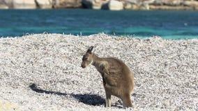 Kangourou irritant de bébé sur la plage chanceuse de baie en parc du cap le Grand National banque de vidéos
