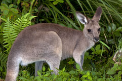 Kangourou mangeant l'herbe. Photo stock