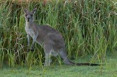 Kangourou mangeant l'herbe Photographie stock libre de droits