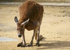 Kangourou nous regardant Photographie stock
