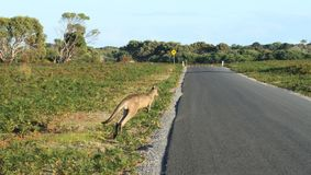 Kangourou près de route de macadam avant de la croiser photo libre de droits