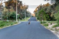 Kangourou reposé dans la route Photographie stock
