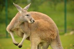 Kangourou rouge Photographie stock libre de droits