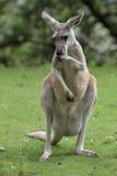 Kangourou rouge Photo libre de droits