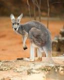 Kangourou rouge Photos libres de droits