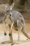 Kangourou rouge Photo stock