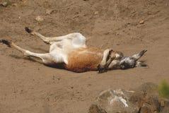 Kangourou rouge Image stock