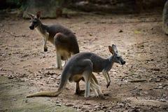 Kangourou rouge dans le safari de nuit de Chiangmai photos libres de droits