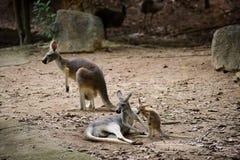 Kangourou rouge dans le safari de nuit de Chiangmai image libre de droits