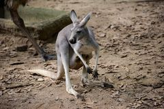 Kangourou rouge dans le safari de nuit de Chiangmai photographie stock