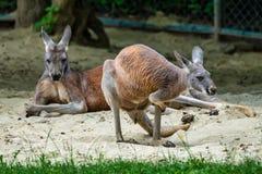 Kangourou rouge, rufus de Macropus dans un zoo allemand image libre de droits