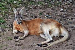 Kangourou rouge sauvage très musculaire se trouvant au sol Photo libre de droits