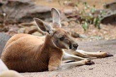 Kangourou rouge regardant et se reposant fixement Photo stock