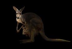 Kangourou rouge se tenant dans l'obscurité Photographie stock libre de droits