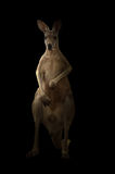 Kangourou rouge se tenant dans l'obscurité Photographie stock