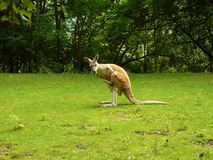 Kangourou (rufus de Macropus) Photos libres de droits