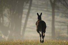 Kangourou sautant à cloche-pied loin à l'aube Image libre de droits