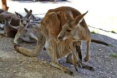 Kangourou se reposant au sol dans les jardins zoologiques photo stock
