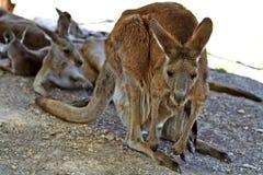 Kangourou se reposant au sol dans les jardins zoologiques images stock
