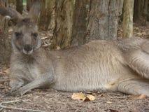 Kangourou se reposant au soleil Photos libres de droits