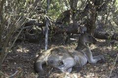 Kangourou se reposant sur l'herbe dans le sauvage Photographie stock