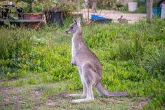 Kangourou solitaire Photographie stock libre de droits