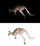 Kangourou sur le fond noir et blanc photographie stock