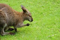 Kangourou sur le pré - vue de côté Photos stock