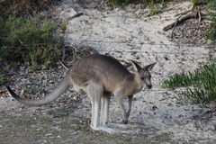 Kangourou sur Sandy Beach Images libres de droits